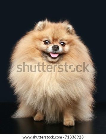 Pomeranian Spitz dog sitting on a dark background #71336923