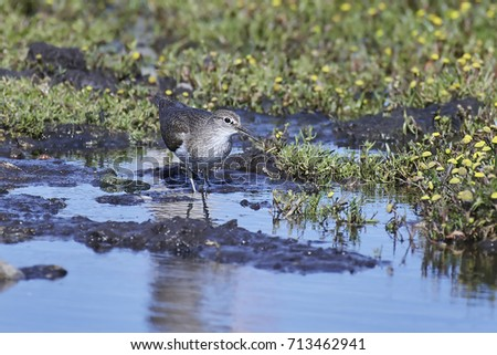 Green sandpiper looking for food in its natural habitat #713462941
