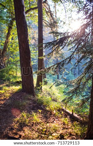 Coniferous forest at dawn in the morning #713729113