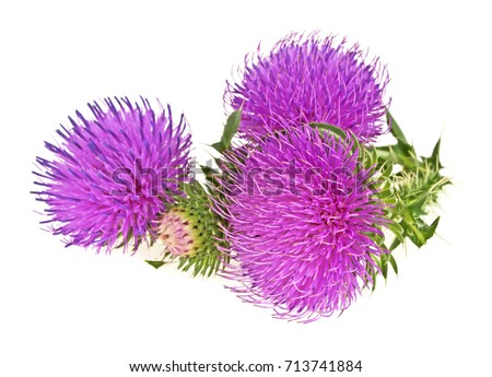 Milk thistle flowers isolated on a white background #713741884