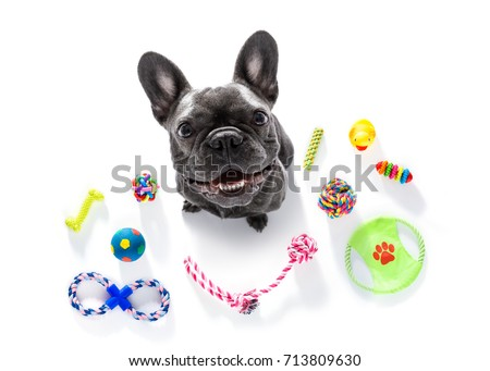 curious french bulldog  dog looking up to owner waiting or sitting patient to play or go for a walk,  isolated on white background, with a lot of pet toys #713809630
