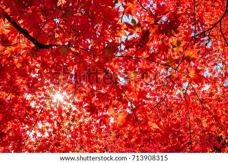 Autumn colorful red maple leaf of Japanese garden from under the maple tree. #713908315