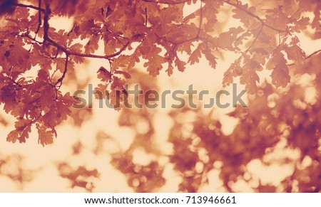 Oak leaves silhouette in autumn with beautiful sunlight #713946661
