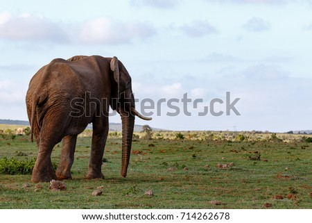 Side view of an Elephant walking towards the mountains in the field. #714262678