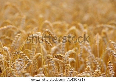 Wheat field. Ears of golden wheat close up #714307219