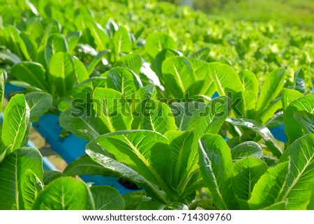 a selective focus picture of organic vegetable in hydroponic farm of Thailand.future agriculture for safety food