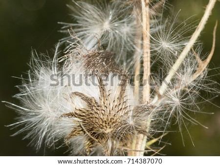 fluffy flower with seeds #714387070