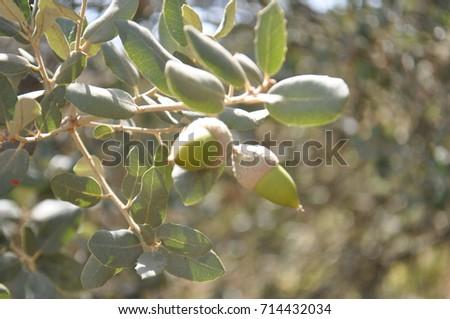 native plant, native fruit, wild fruit #714432034