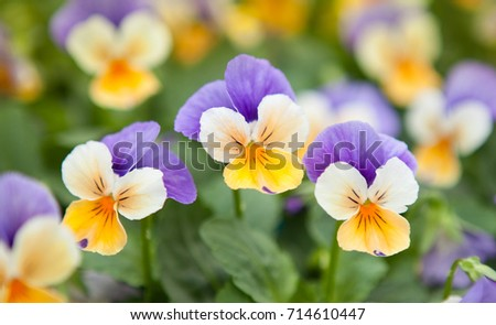 The garden pansy is a type of large-flowered hybrid plant cultivated as a garden flower. Pansy flower reflects the symbol of faithfulness while its floral intelligence assume the thinking of fans.