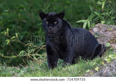 Black Jaguar deep in a forest/Black Panther/Jaguar (Panthera Onca) #714709735