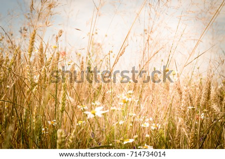 A beautiful shiny field of golden grain with some wildflowers like daisies and wild grass. #714734014