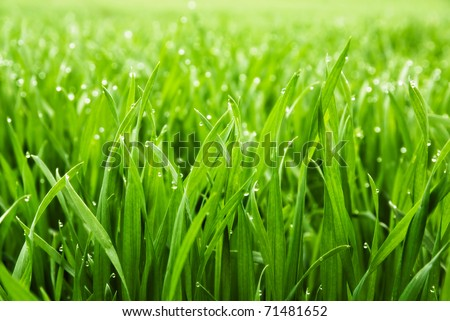 Close up of fresh thick grass with water drops in the early morning #71481652