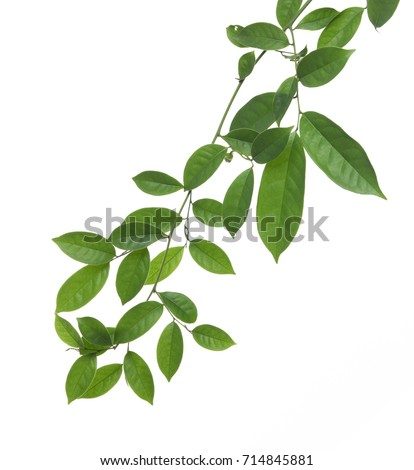 green leaf isolated on white background #714845881