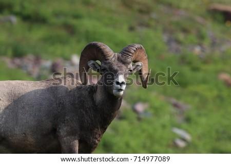 Bighorn Sheep Glacier National Park Montana USA #714977089