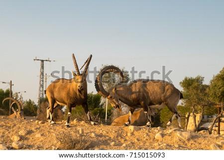 The herd of Nubian ibexes in kibbutz Sde Boker. Negev desert. Israel #715015093