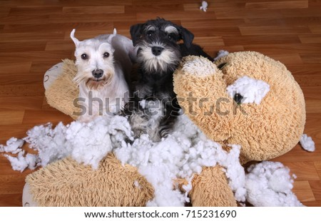 Bad naughty schnauzer dogs destroyed plush toy at home #715231690