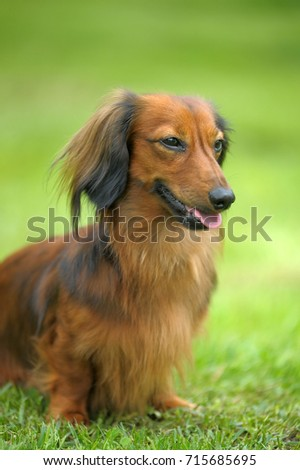 Dachshund on a background of green grass #715685695