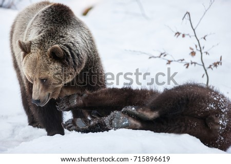 Brown Bears (Ursus arctos) in Lake Clark National Park, Alaska, USA #715896619