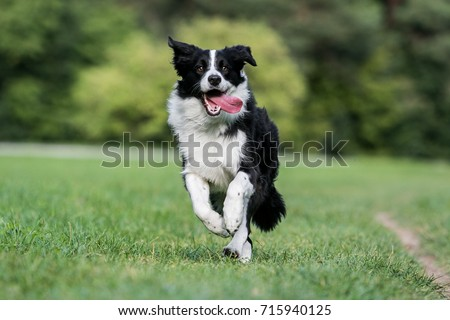 Black and white border collie running on the green grass #715940125