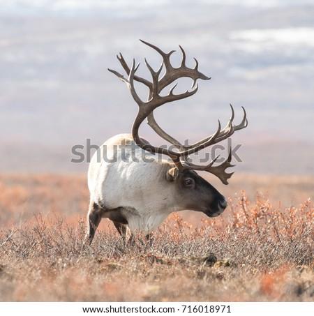 big caribou in alaska tundra Royalty-Free Stock Photo #716018971