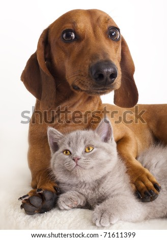 British kitten  and dog dachshund #71611399