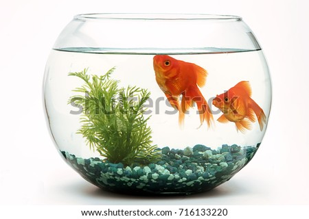 Goldfish fishbowl