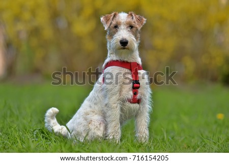 Airedale terrier in summer white with red #716154205