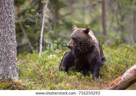 BEAR IN TAIGA FOREST #716250292