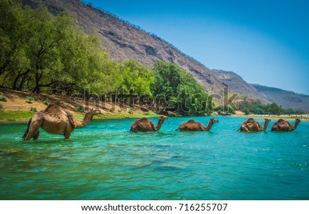 Camels Crossing a River at Desert Oasis  #716255707