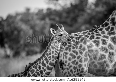 Giraffe young standing with his mother in black and white in the Chobe National Park, Botswana. #716283343