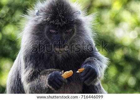 Monkey eating peanuts #716446099