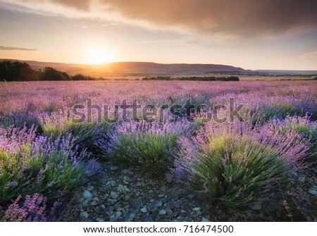 Lavender in the mountain valley during sunset. Beautiful natural landscape in the summer time #716474500