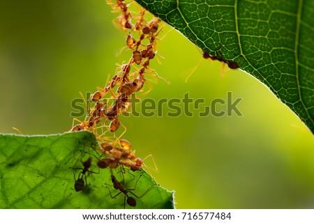 Ant action standing.Ant bridge unity team Royalty-Free Stock Photo #716577484