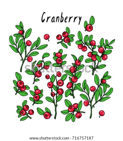 Vector illustration of hand drawn cranberry twigs. Beautiful floral design elements, ink drawing #716757187