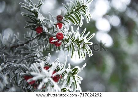 snowy yew #717024292