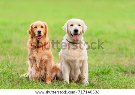 Closeup photo two Golden Retriever dog in the park #717140536