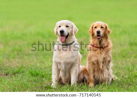 Closeup photo two Golden Retriever dog in the park #717140545