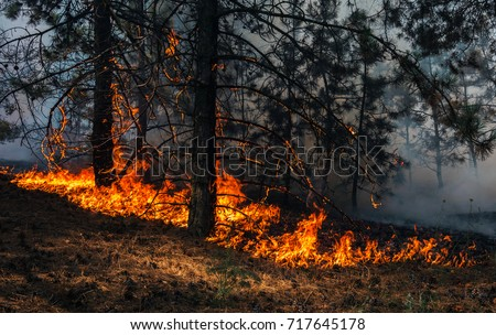 fire. wildfire, burning pine forest in the smoke and flames. #717645178