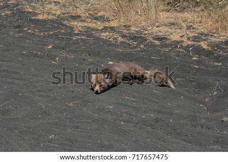 a fox is sleeping on the side of the road on the Mount Etna in the hot sicilian summer #717657475