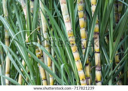 fresh sugarcane in garden. #717821239