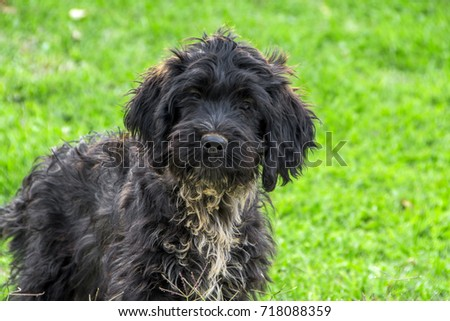 surprised Giant Schnauzer puppy on green grass gazing straight at the camera #718088359