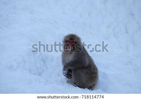 Japan Nagano Prefecture Jigokudani Monkey Park's Japanese Ape #718114774
