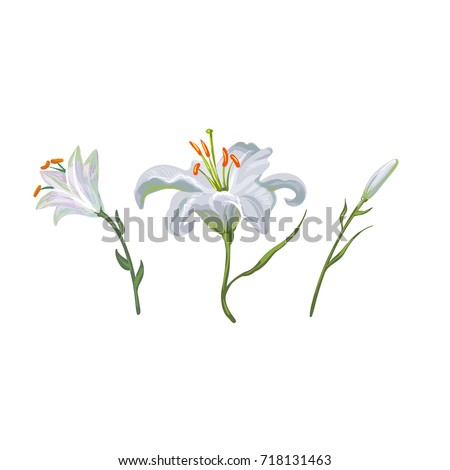 illustration with white lily flowers in different stages isolated on white background #718131463