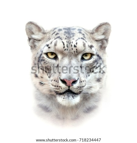 snow leopard face on white background