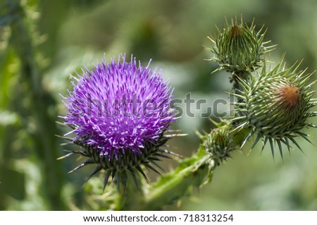 Macro view of a thistle flower #718313254