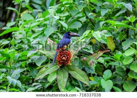 Toucan bird Costa Rica