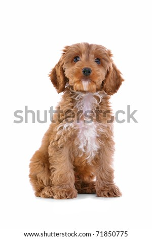 Photo of an 11 week old male red and white Cockapoo puppy, who is a F1 cross breed between a cocker spaniel and a poodle, sitting looking at camera and isolated on a white background. #71850775