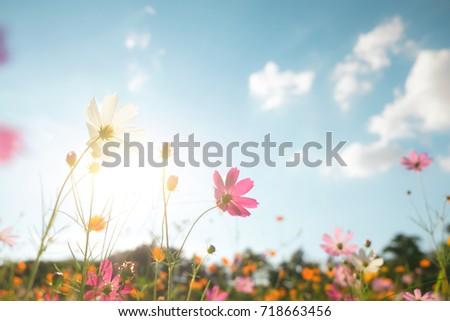 Vintage color filter cosmos flower field. #718663456