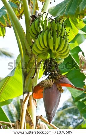 Green banana with banana blossom on tree #71870689
