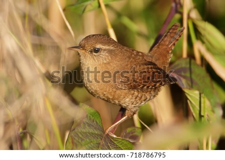 Eurasian wren very close up in soft morning light #718786795